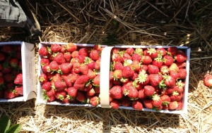 12 pounds of fresh picked strawberried - YUMMY!!!